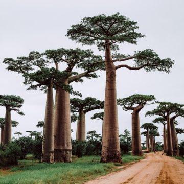 Baobab: beneficios y propiedades