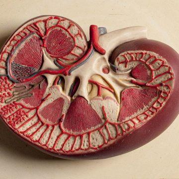 El riñón y la vejiga en la Medicina Tradicional China (1ª parte)